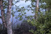 Some birch trees standing in the grass beside the foggy water of a small lake near Vasa in Finland.