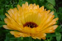 Close up photo of a Pot Marigold we had outside the greenhouse one year.